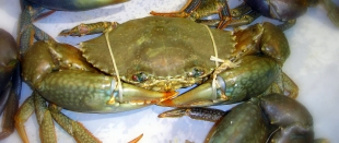 how to catch mud crabs nsw