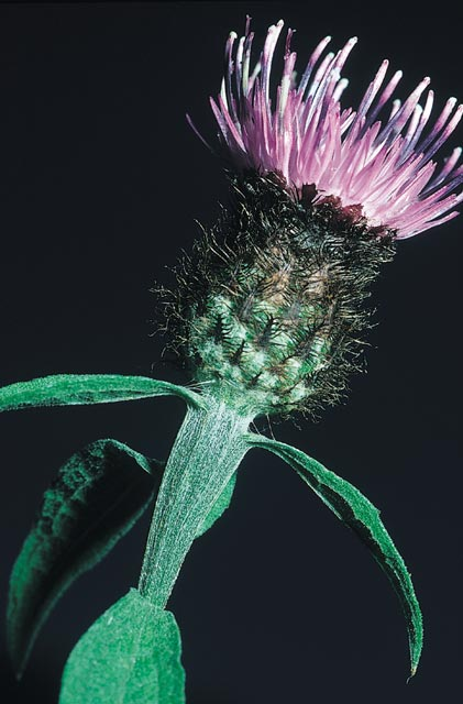 Black knapweed flower head