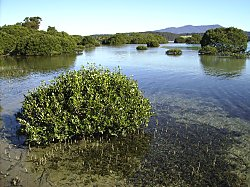 Mangrove wetland, Wongonga Inlet, Narooma