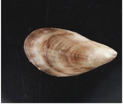 Black-Striped-Mussel-2