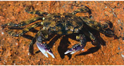 Brush-Clawed-Shore-Crab-3