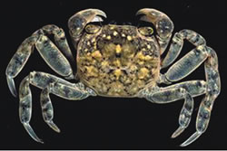Brush-Clawed-Shore-Crab-4