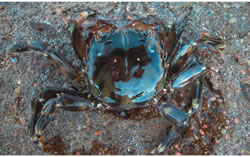 Brush-Clawed-Shore-Crab-5