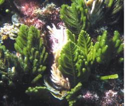 Caulerpa flexilis