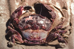 Rough rock crab / Red swimmer crab