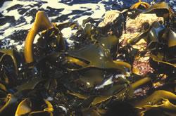 Japanese-Seaweed-5