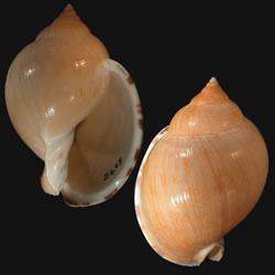 Rapa-Whelk-4