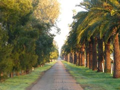 The tree-lined drive leading to Yanco Agricultural Institute