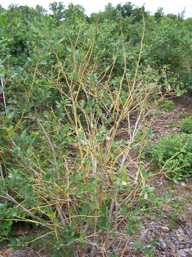 A blueberry plant devoid of most of it's leaves revealing bare stems and branches.