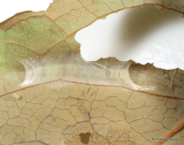 A larvae has spun a net of silk between two parts of a leaf to make a small indent in which it can shelter as it feeds