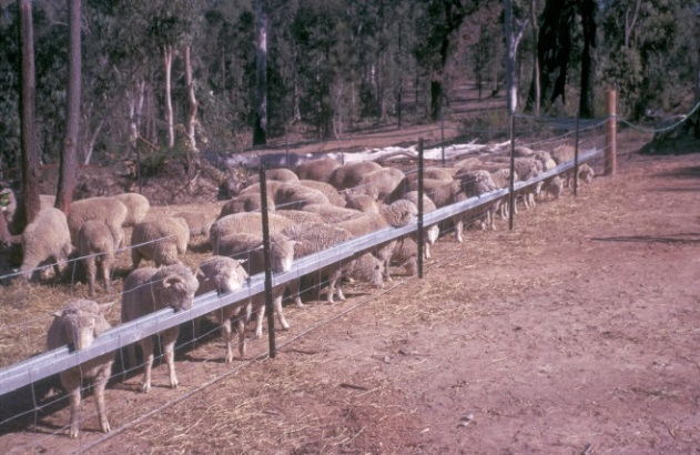 Sheep are feeding from an aluminium trough elevated off the ground