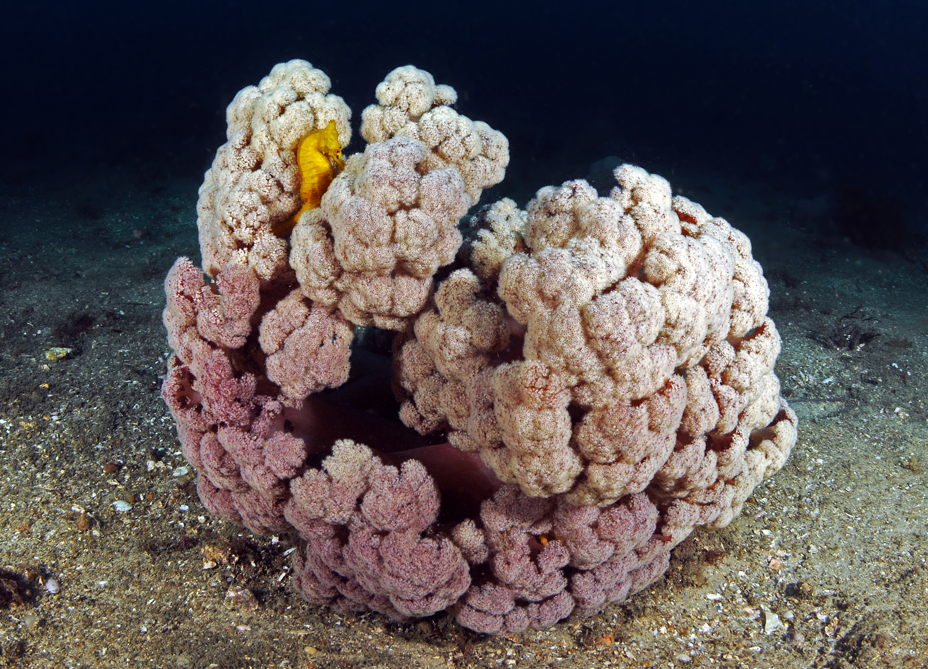 A small yellow seahorse in a cauliflower coral