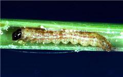 Black headed stem borer caterpillar with five purple-brown longitudinal stripes along its greyish-white body inside a plant stem.