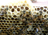 Bees on hexagons