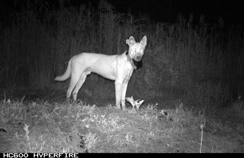 wild dog with GPS collar viewed on camera at night