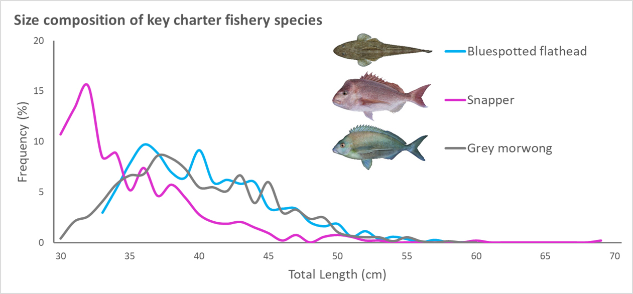 graph showing the size composition of Bluespotted flat, Snapper and Grey morwong - the frequency (%) by the total length (cm)