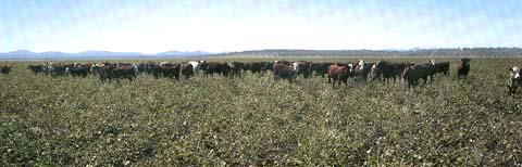 Steers grazing lablab
