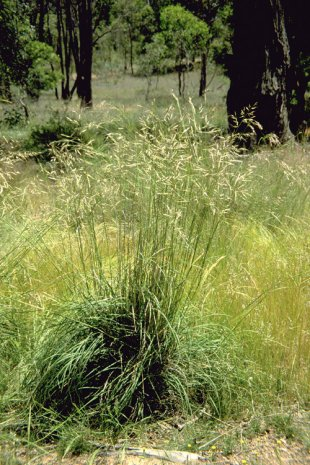 Silvertop Wallaby Grass