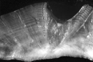 Cross-section of a bluefish (Girella cyanea) otolith