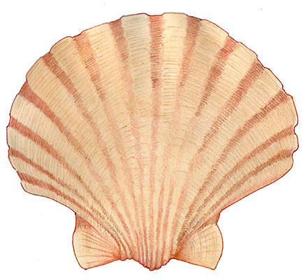 Commercial scallop