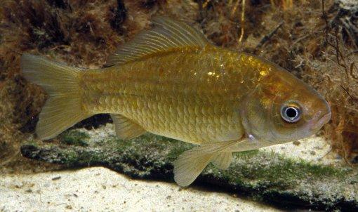 A common goldfish