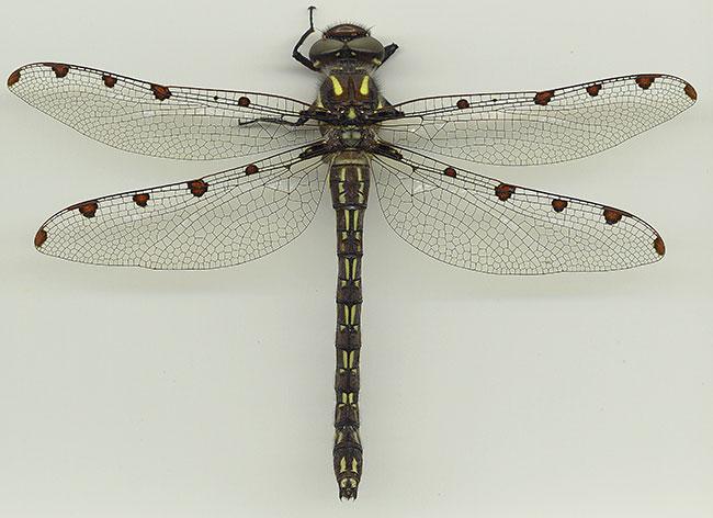 Alpine Redspot Dragonfly image © Gunther Theischinger