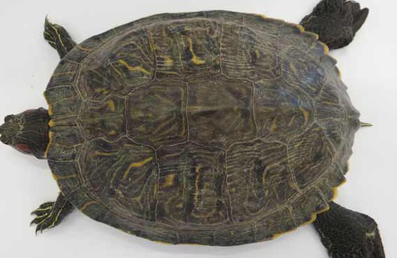 Red-eared slider turtle shell markings