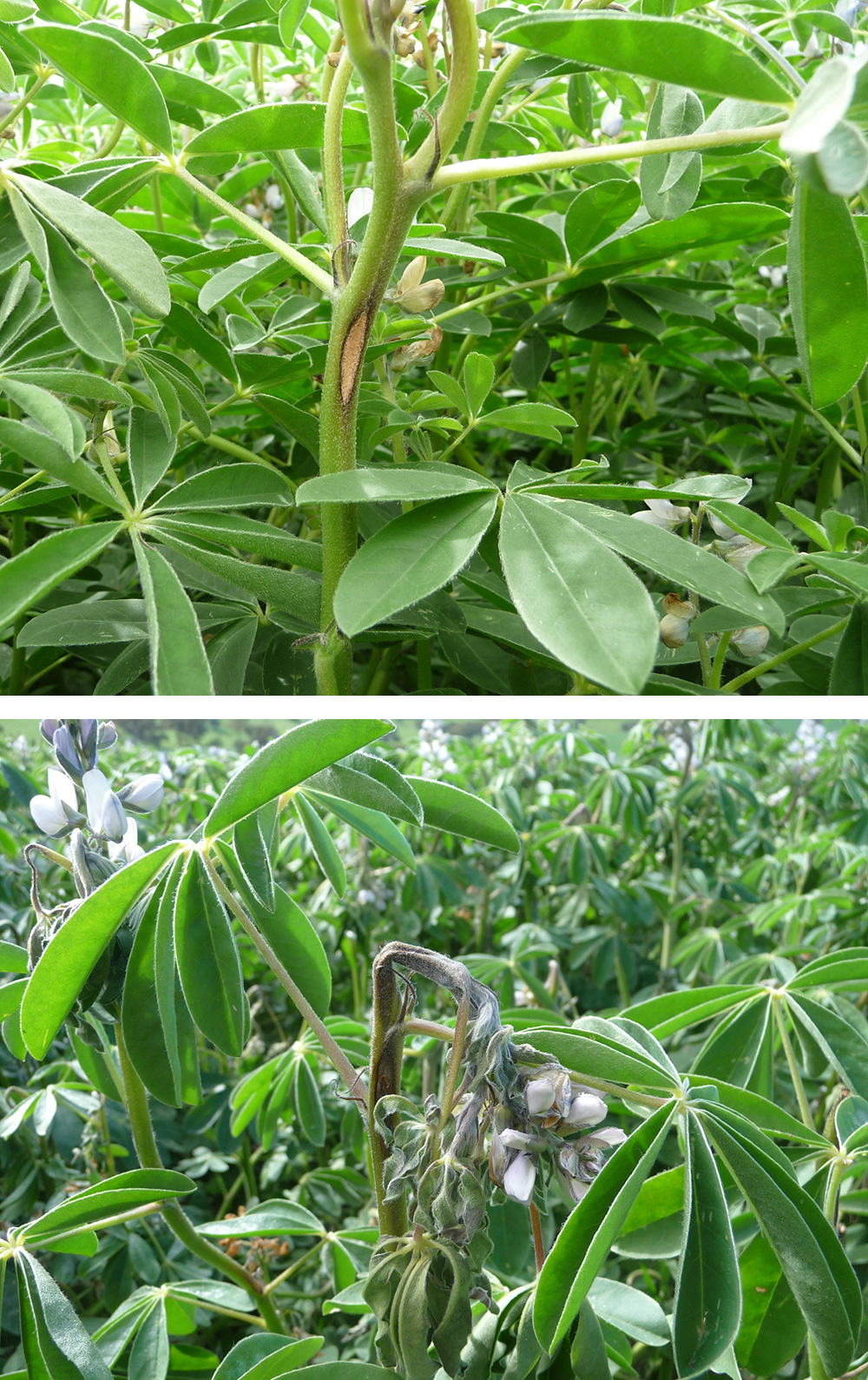 Two photos showing the affect on the plant from the disease