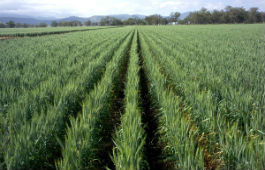 Wheat winter crop