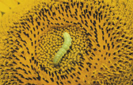 Heliothis on sunflower