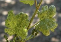 grapevine leaves mottled yellow and green. (Dr. Pasquale Saldarelli, University Of Bari)