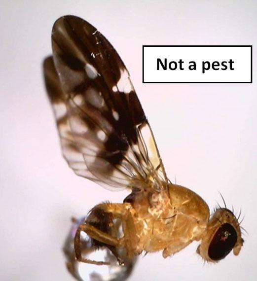 Island fly
