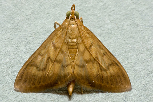 Yellow-brown moth with wings extended