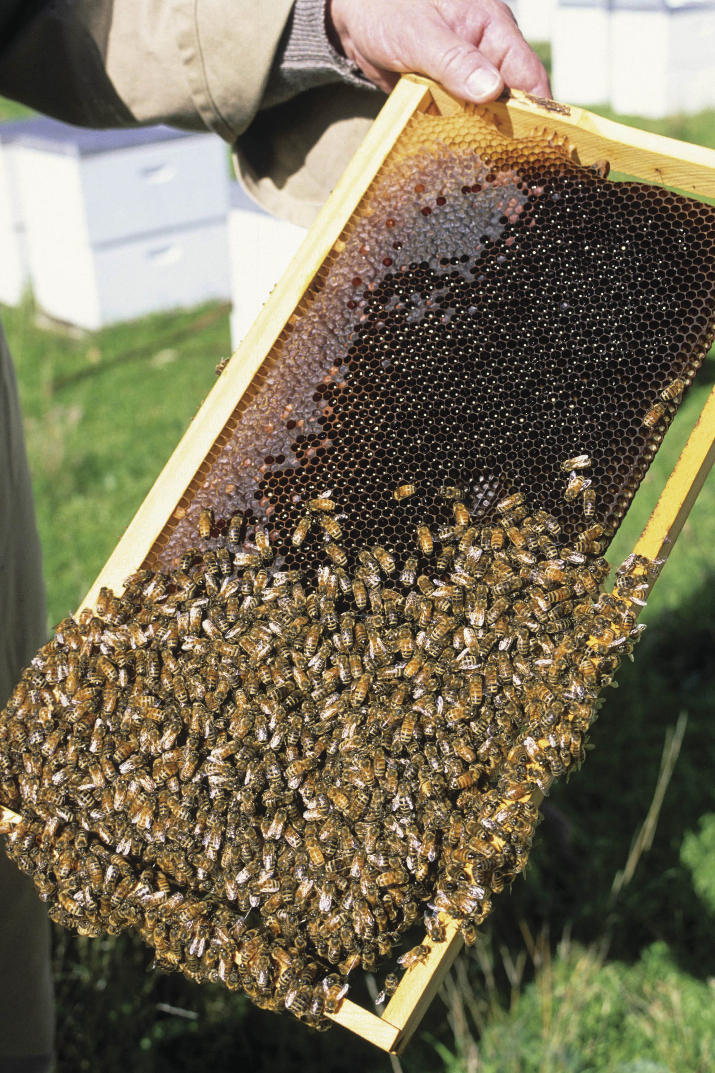 bees and honey on a frame