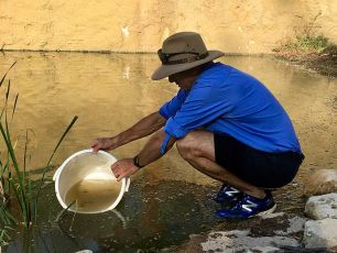 A DPI staff member empties a container of small fish into a dam