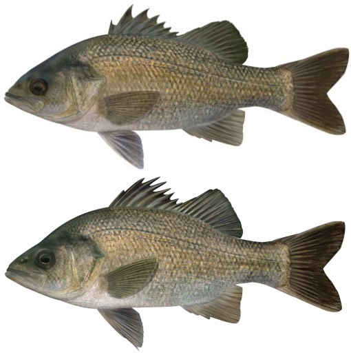 The bass and perch are very similar, having a greyish skin colour. Differences in the dorsal fins stand them apart.
