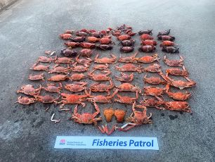 Around 50 cooked crustaceans are lined up on the ground.
