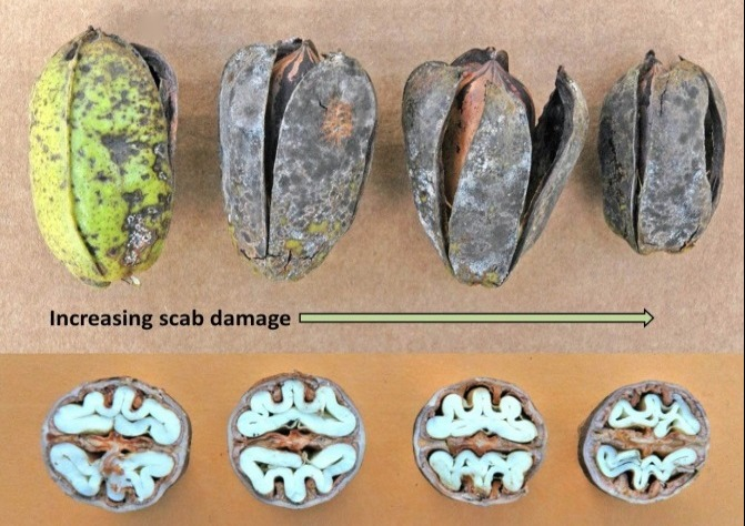 Composite image that shows 4 pecan pods that have increasing disease damage. The first pod is still green but with brown blotches, the last pod is completely brown and small. The other part of the image shows cross sections of the pods showing the pecan kernel in the pod and the kernels are large in least affected and small in the most disease affected.