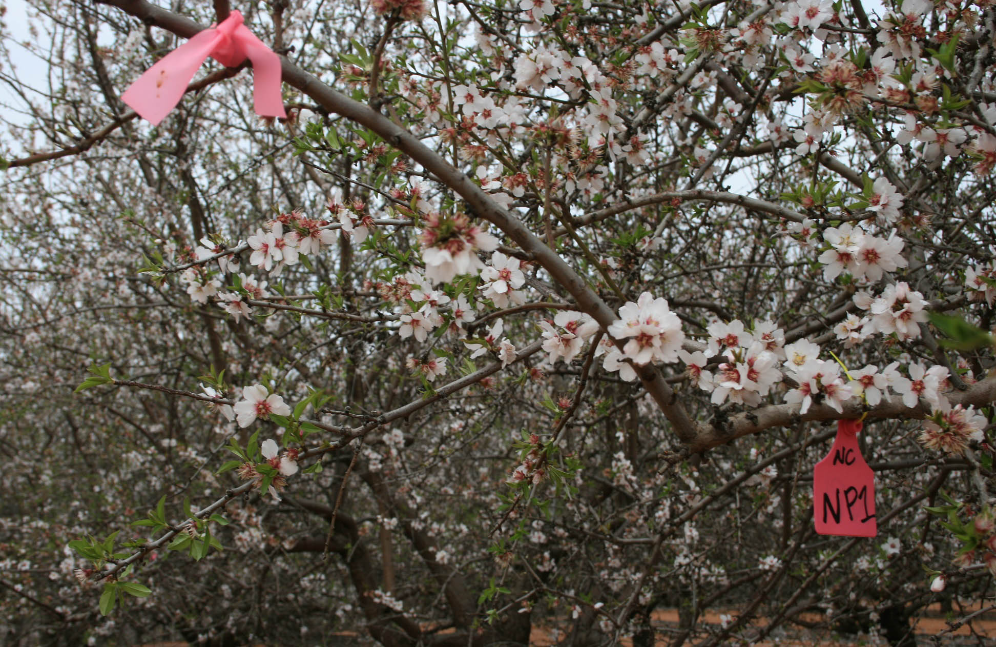 almond tree branches tagged