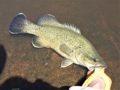 Photo of a Murray cod being released