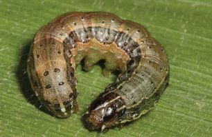 Fall armyworm larvae