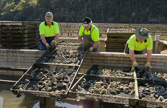 three oyster farmers harvesting oysters