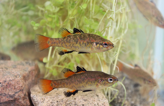 Southern Pygmy Perch males in spawning colours (Photo: L. Pearce)