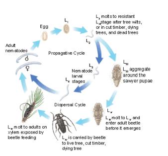 Figure 2. Lifecycle of the pinewood nematode
