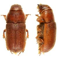 Red turpentine beetle