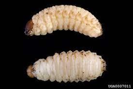 RTB larvae 1
