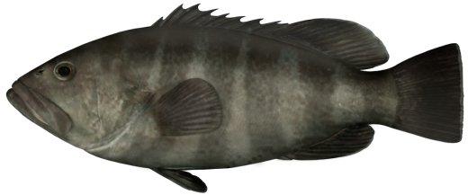 Rock Cod Fish   Banded Rock Cod Bar Cod I Epinephelus Ergastularius I Nsw