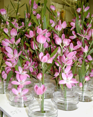 Testing the vase life of eriostemon