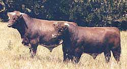Beef shorthorn bulls