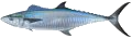 Mackerel (Narrow-Barred Spanish)